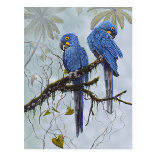 Hyacinth Macaw just for your special gifts Postcard