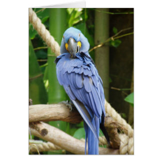 Hyacinth Macaw Notecard