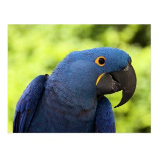 Hyacinth Macaw Post Cards