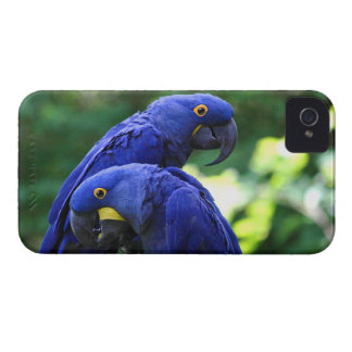 Hyacinth Macaws iPhone 4 Case-Mate Cases