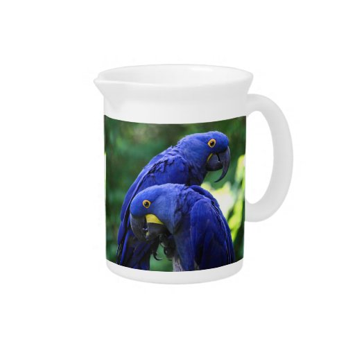 Hyacinth Macaws Drink Pitchers
