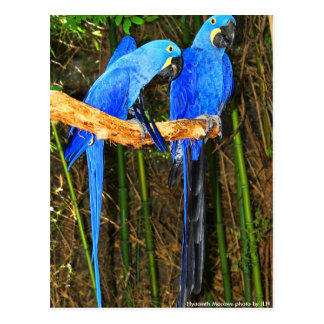Hyacinth Macaws photo by JLH Post Card