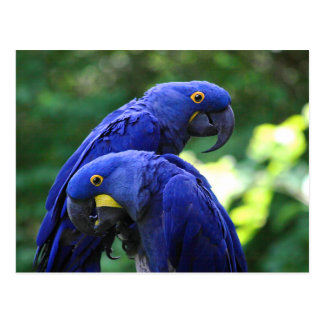 Hyacinth Macaws Post Cards