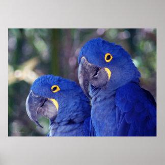 Hyacinth Macaws Poster