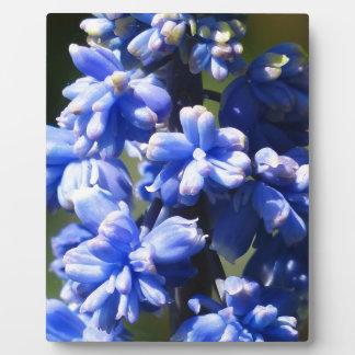 Hyacinth Muscari Armeniacum Flower Photo Plaques