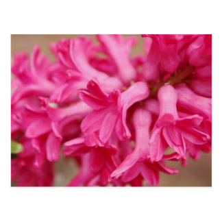 Hyacinth Pink Postcard
