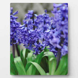Hyacinth Plaques