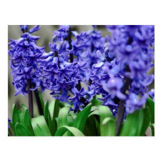 Hyacinth Postcard