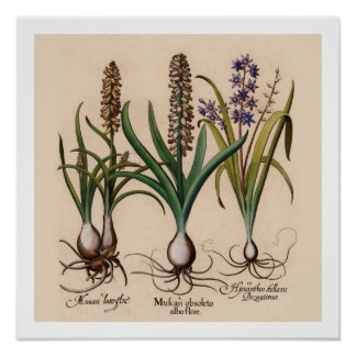 Hyacinths Botanical Print