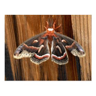Hyalophora cecropia moth postcard
