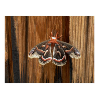 Hyalophora cecropia moth poster
