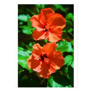 Hybiscus rojo tarjeta postal