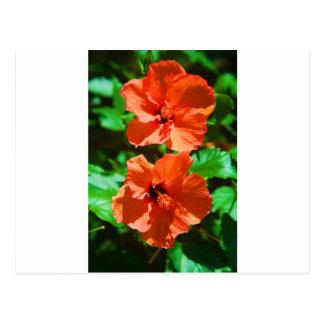 Hybiscus rojo tarjetas postales
