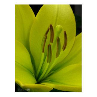 Hybrid Lily named Trebbiano Postcard