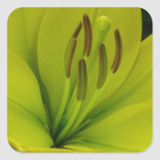 Hybrid Lily named Trebbiano Square Sticker