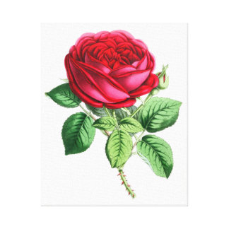 Hybrid Perpetual Rose - Napoleon III Canvas Prints