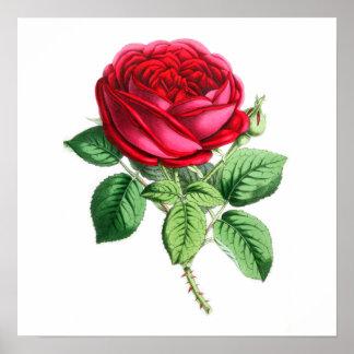 Hybrid Perpetual Rose - Napoleon III Posters