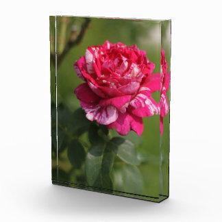 Hybrid Red and White Tea Rose Award