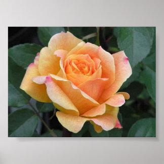 Hybrid Rose Poster