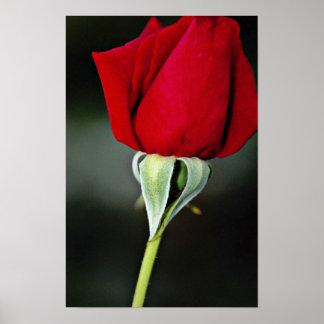 Hybrid Tea Rose 'Chrysler Imperial' Yellow flowers Posters
