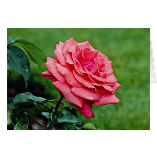Hybrid Tea Rose 'Fragrant Cloud' White flowers Cards