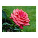 Hybrid Tea Rose 'Fragrant Cloud' White flowers Postcard