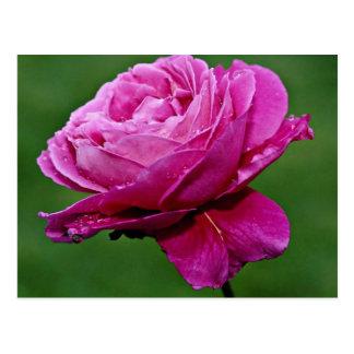 Hybrid Tea Rose Heirloom White flowers Post Card