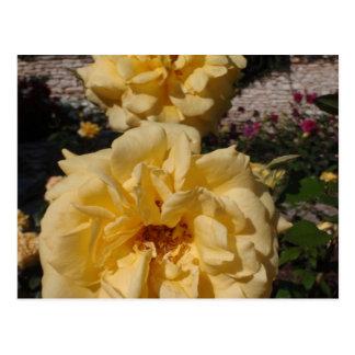 Hybrid Tea Rose Landora Postcard