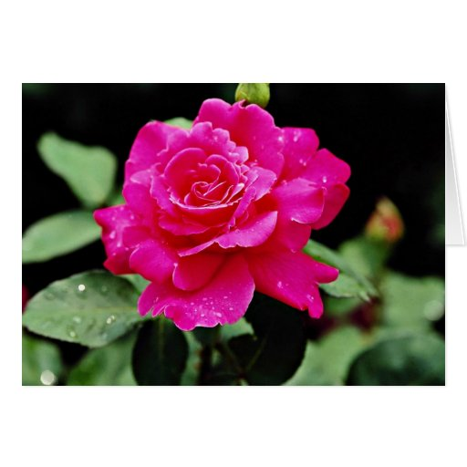 Hybrid Tea Rose 'Pink Peace' White flowers Greeting Card
