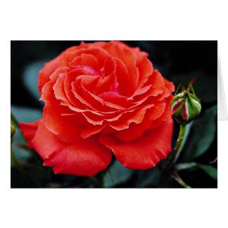 Hybrid Tea Rose White flowers Cards