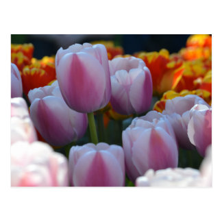 Hybrid Tulips in Bloom Postcard