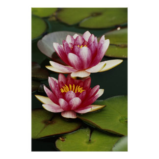 Hybrid water lilies poster