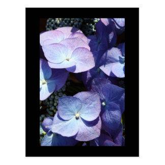 Hydangea violeta tarjeta postal