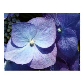Hydangea violeta tarjetas postales