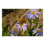 Hydaspe Fritillary on Purple Aster Flowers Poster