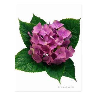 Hydrangea 5 tarjeta postal