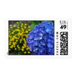 Hydrangea azul magnífico compensado por el sellos