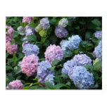 Hydrangea azul postal