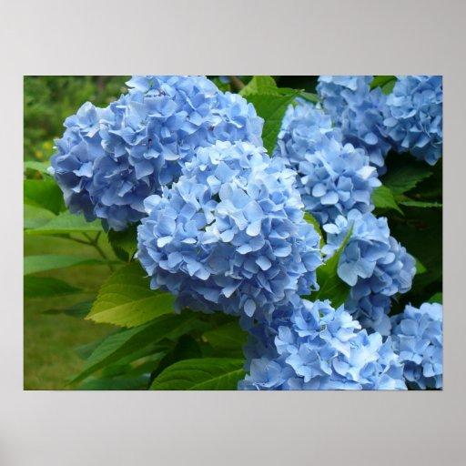 Hydrangea azul poster