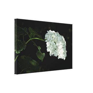 Hydrangea blanco de la bola de nieve - Annabelle Impresión En Lona
