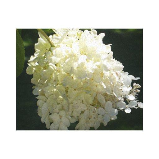 Hydrangea blanco impresion de lienzo
