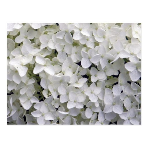 Hydrangea blanco postales