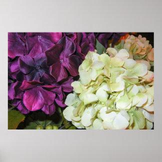 Hydrangea Blooms in Dark Purple & White Poster