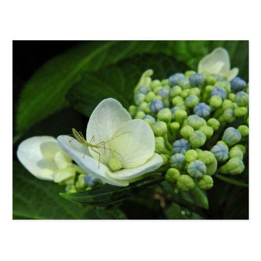 Hydrangea & Bug Postcard