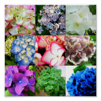 Hydrangea Collage Poster