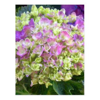 Hydrangea del color del pistacho postal