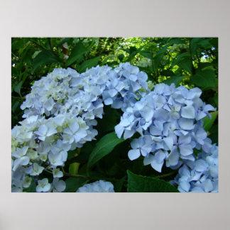 Hydrangea Flower Garden art prints Blue Hydrangeas