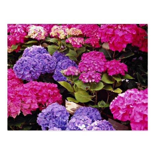 Hydrangea flowers postcard