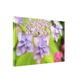 Hydrangea flowers Stretched Canvas Print
