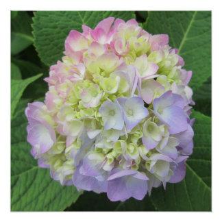 Hydrangea Green Pink Blue Flower Poster